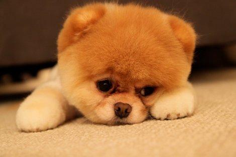 Boo-The-Dog-sad